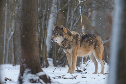Gray Wolf「Gray Wolf, Canis lupus lupus, at Snowfall in Winter」:スマホ壁紙(10)