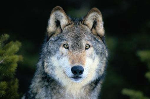 Wolf「Gray wolf (Canis lupus), close-up, head-shot」:スマホ壁紙(15)