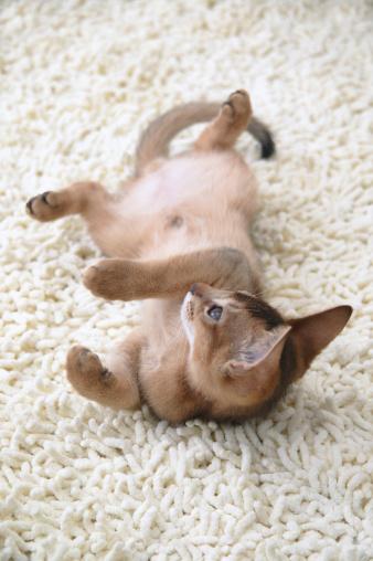 Kitten「Abyssinian cat lying on its back」:スマホ壁紙(13)