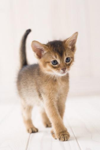 子猫「Abyssinian」:スマホ壁紙(13)