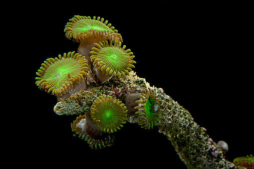 Soft Coral「Protopalythoa sp. (zoanthid)」:スマホ壁紙(13)