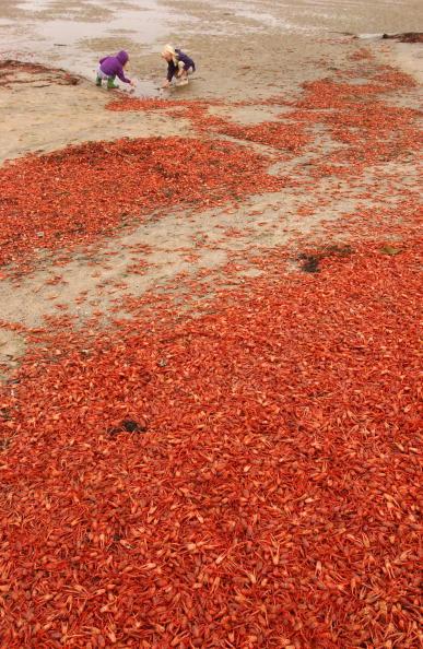 Baja California Peninsula「Arrival of Pelagic Crabs May Indicate El Nino Event」:写真・画像(17)[壁紙.com]