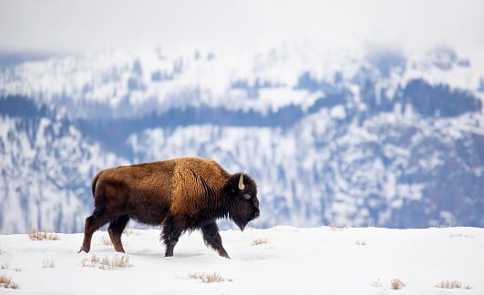 Horned「Buffalo on a Mountain Ridge in Winter」:スマホ壁紙(15)