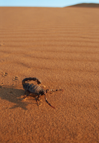 Arid Climate「Thick-tailed scorpion (Parabuthus sp.) on sand dune」:スマホ壁紙(2)
