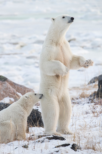 Bear Cub「Mother Polar bear (Ursus maritimes) standing in the snow assessing danger」:スマホ壁紙(8)