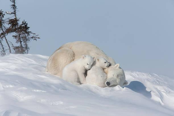 Mother polar bear and cubs sleeping in the snow:スマホ壁紙(壁紙.com)