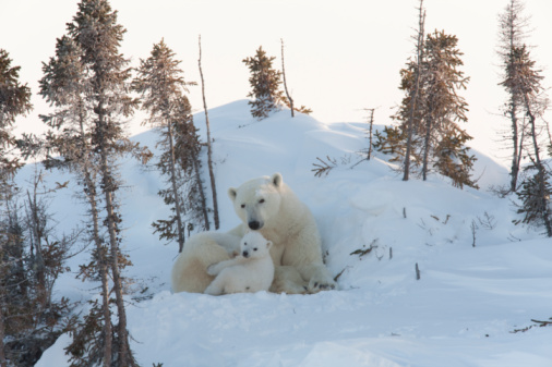 Bear Cub「Mother polar bear and cub」:スマホ壁紙(10)