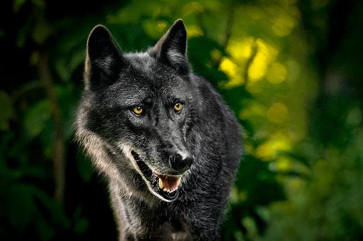 Wolf「Wolf in forest」:スマホ壁紙(13)