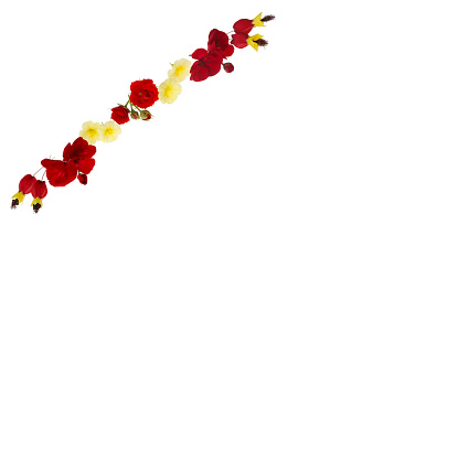 Flowering Maple「Design created with yellow & red flowers across corner on white.」:スマホ壁紙(9)