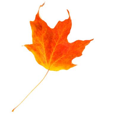 紅葉「Fiery Red Maple Leaf」:スマホ壁紙(2)