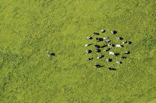 Pasture「Dairy cattle grazing」:スマホ壁紙(17)