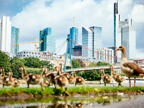 Focus On Background「Germany, Frankfurt, view to skyline with goose family in the foreground」:スマホ壁紙(17)