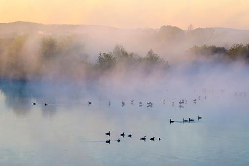Flock Of Birds「Germany, Franconian Lake District, grey gooses on Altmuehlsee at morning mist」:スマホ壁紙(12)