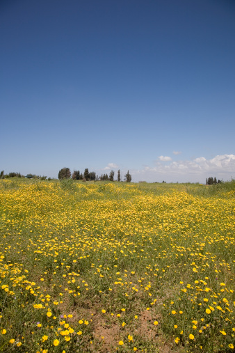 Allergy「Field of yellow daisies in spring, Ra'anana, Israel」:スマホ壁紙(17)