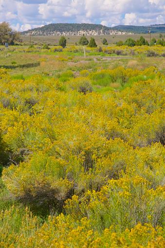 Flower「Field of yellow desert flowers on shrub」:スマホ壁紙(4)
