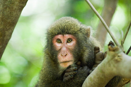 Karin「Japan, Kagoshima Prefecture, Yakushima Island, Yaku-zaru monkey」:スマホ壁紙(16)