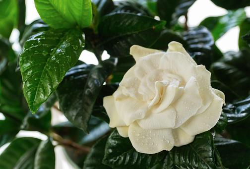 Petal「Wet Gardenia flower」:スマホ壁紙(7)