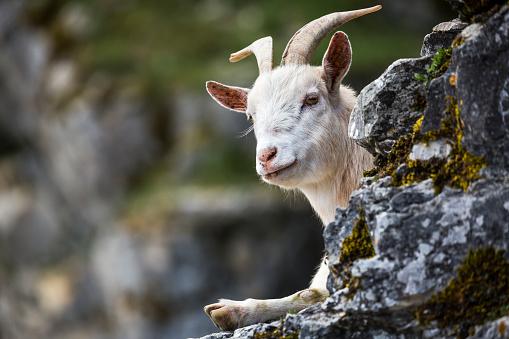 野生動物「Germany, portrait of a goat」:スマホ壁紙(12)
