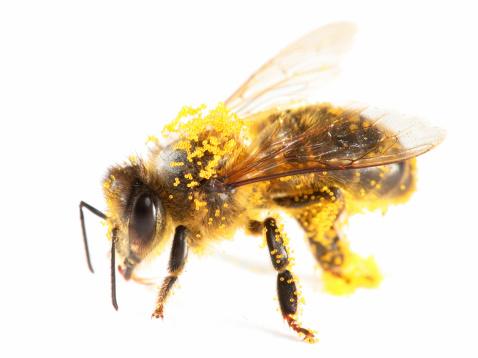Efficiency「Pollen covered honeybee」:スマホ壁紙(6)