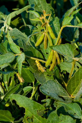 Insecticide「Grasshoppers on a soybean plant」:スマホ壁紙(11)