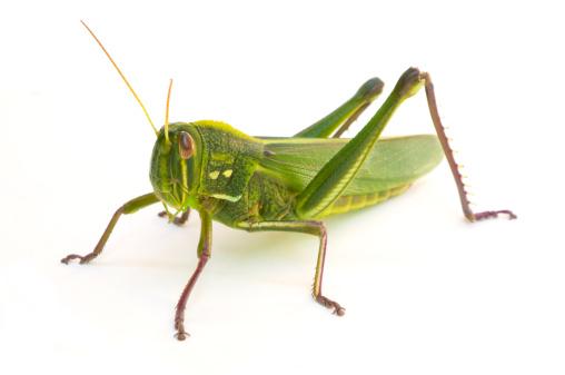 Animal Body「Grasshopper」:スマホ壁紙(11)