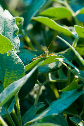 Insecticide「Grasshopper on a soybean plant」:スマホ壁紙(12)