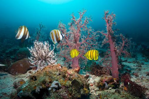 Butterflyfish「Tropical coral reef fish」:スマホ壁紙(14)