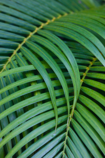 Hawaii Islands「Tropical Coconut Palm Leaves」:スマホ壁紙(13)