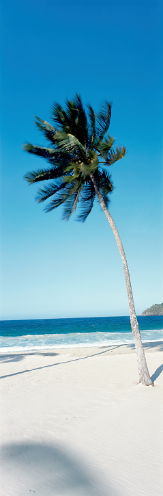 Eco Tourism「Tropical coconut palm tree in caribbean beach」:スマホ壁紙(8)