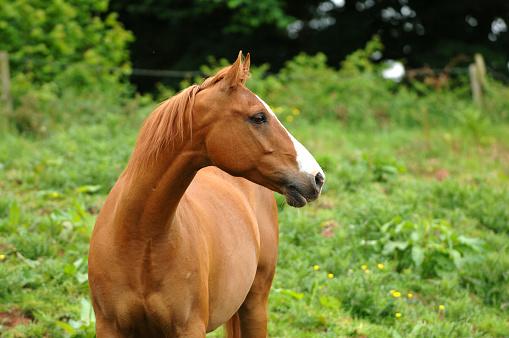 Horse「Arab Horse head study」:スマホ壁紙(17)