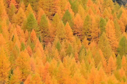 Larch Tree「Yellow Autumnal Larch Trees」:スマホ壁紙(10)