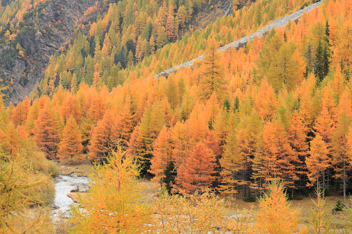 Larch Tree「Yellow Autumnal Larch Trees」:スマホ壁紙(14)