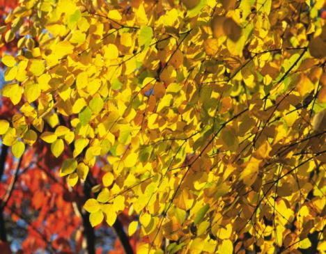 Nikko City「Yellow Autumnal leaves, Nikko, Tochigi Prefecture, Japan」:スマホ壁紙(19)