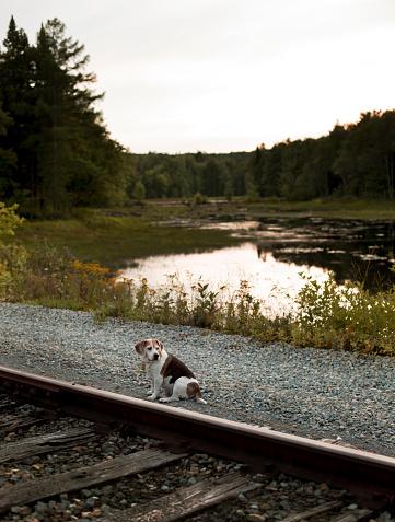 アディロンダック森林保護区「Dog Sitting Near A Railway Track In Adirondacks」:スマホ壁紙(10)