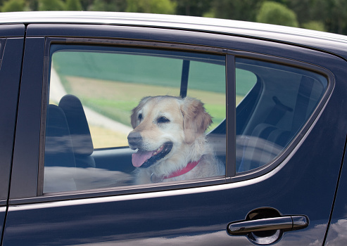 Waiting「Dog sitting in the back seat of a black car」:スマホ壁紙(18)