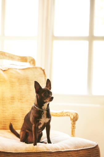 Chihuahua - Dog「Dog sitting on a chair at home」:スマホ壁紙(8)