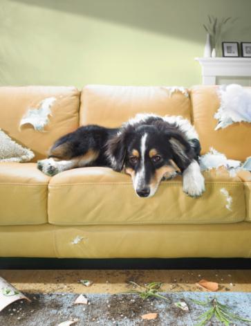 Mischief「Dog sitting on torn sofa」:スマホ壁紙(5)
