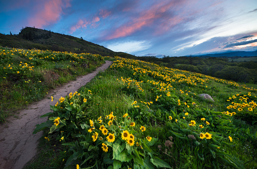 Columbia River Gorge「Sunset and wild flowers」:スマホ壁紙(16)