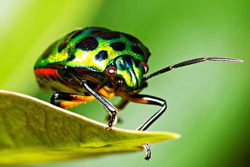 Beetle「Green glitter beetle on leaf.」:スマホ壁紙(18)