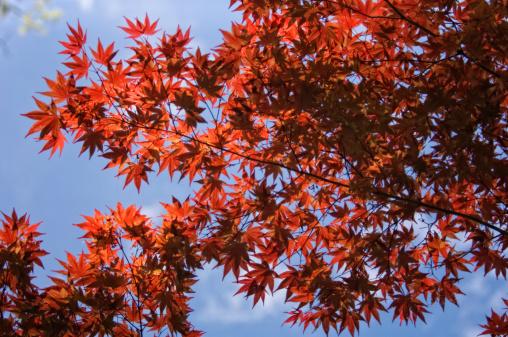 Japanese Maple「Red Leaved Japanese Maple Tree in Spring」:スマホ壁紙(9)
