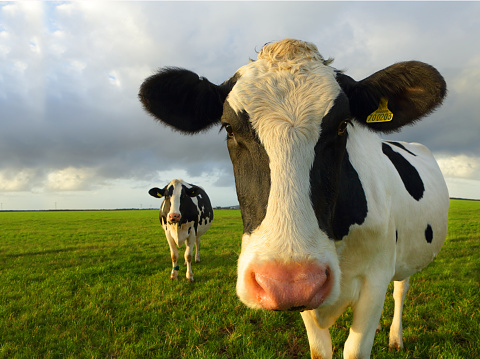 Females「Friesian Cows in foild」:スマホ壁紙(4)