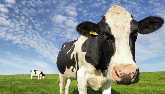 Cow「Friesian Cows in field」:スマホ壁紙(1)