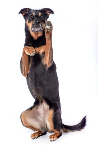 犬「Rottweiler」:スマホ壁紙(3)