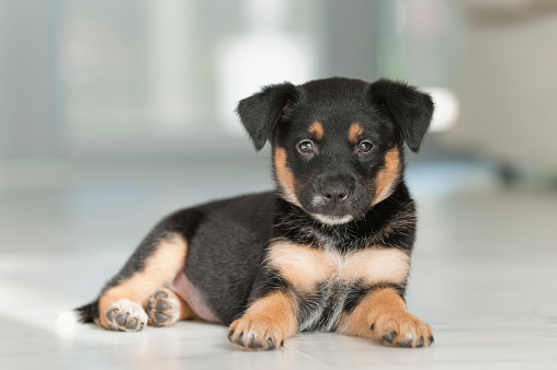 Baby animal「Rottweiler mix puppy」:スマホ壁紙(18)
