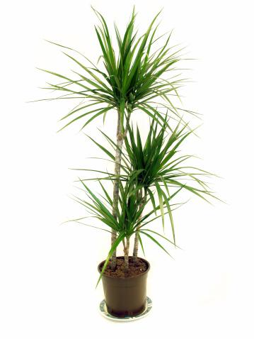 Corn Lilly「Dragon Tree (Dracaena marginata) House Plant」:スマホ壁紙(3)