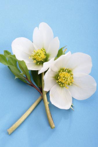 Hellebore「White Christmas rose, Helleborus niger」:スマホ壁紙(11)