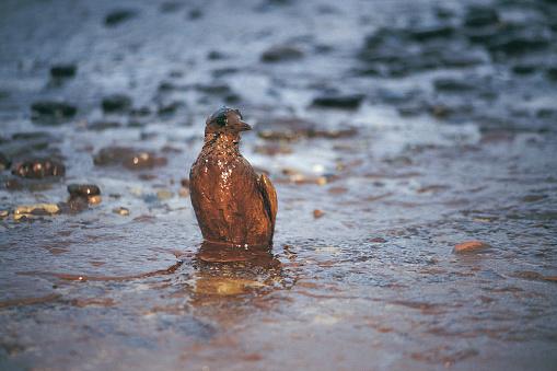 Bird「Oiled Guillimot after Empress oil spill,West Wales」:スマホ壁紙(9)