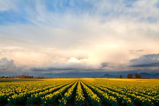 水仙「Daffodils サンセットスカジットヴァレイ」:スマホ壁紙(2)