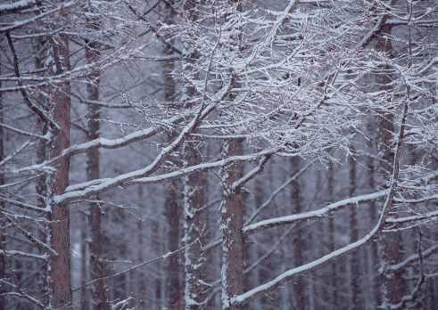 Branch「Forest」:スマホ壁紙(19)