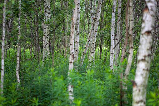 Boreal Forest「Forest」:スマホ壁紙(0)